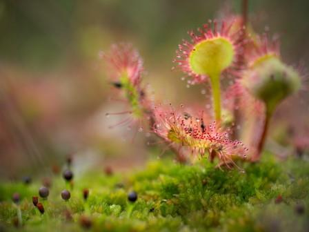 The sundew has adapted to its nutrient poor environment by consuming insects (Lizzie Shepherd)