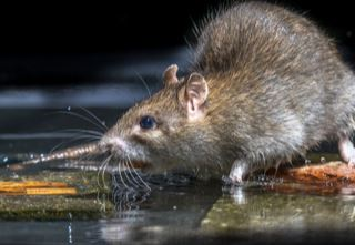 Rats are just one carrier of Weil's disease (Cory Jones)