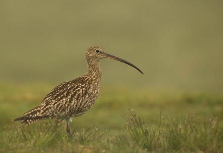 Curlew (Tom Streeter)