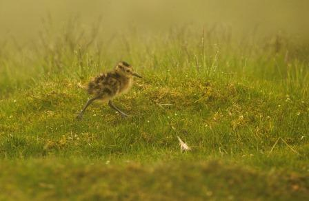 Curlew chick (Tom Streeter)