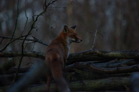 Fox at Queenswood Country Park and Arboretum (Herefordshire Wildlife Trust)