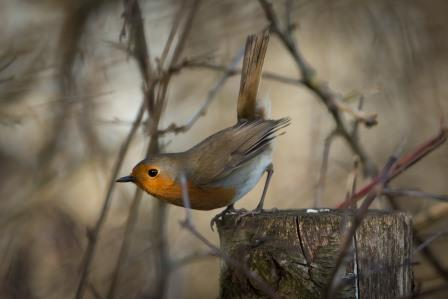 Robin at Lugg Meadows Nature Reserve (Paul Cooper)