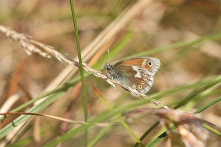 The first Manchester argus butterfly on Manchester's peatlands by Andy Hankinson