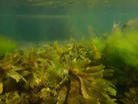 Seagrass Bed (Charlotte Bolton, Seasearch)