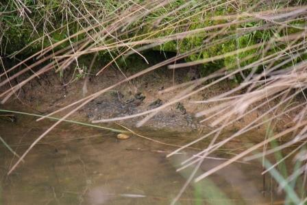 A water voles latrine (E Marnham)