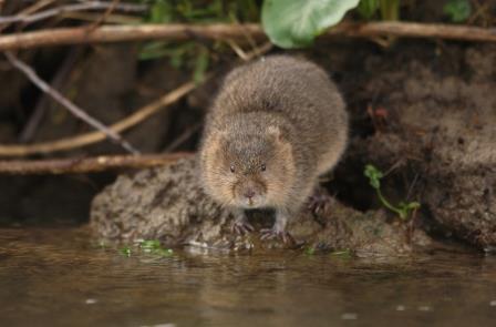 Water vole (Iain Green  www.wildwonder.co.uk)