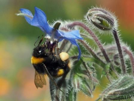 Buff-tailed Bumblebee, Bombus terrestris: showing a decrease (Les Moore)