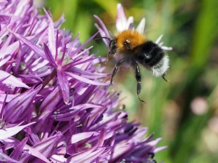 Tree Bumblebee, Bombus hypnorum: increasing in abundance (Les Moore)