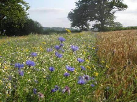 Field margins supporting pollinators  (Championing the Farmed Environment)