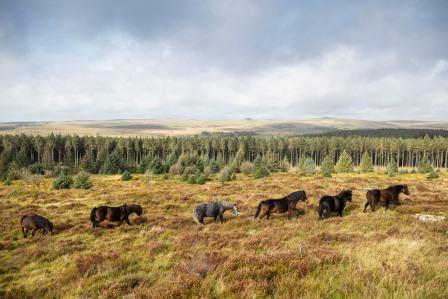 Bellever ponies in long string between tor and forest (Lloyd Russell)