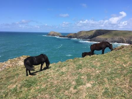 Ponies in Cornwall graze the dunes and help to keep vegetation low and biodiverse. Image: Jon Cripps