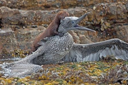 American mink attacking a gannet chick, classified as a vulnerable  species by the IUCN. Image: John W Anderson