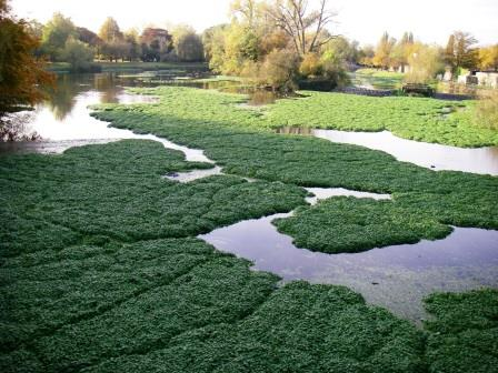 Floating pennywort clogs waterways preventing navigation and  increasing the risk of flooding.  Image: Phil Harding, Environment Agency.