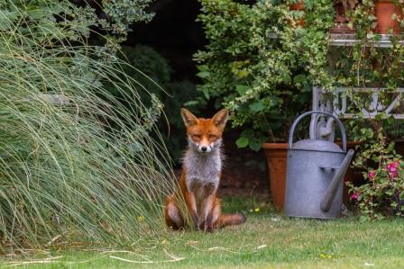 Fox in garden (Graham Williams, Shutterstock)