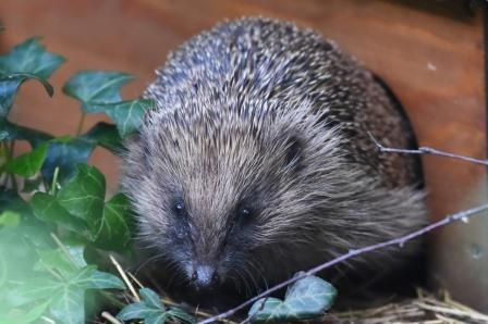 Native hedgehog (Brian Austin for Hedgehog Street)