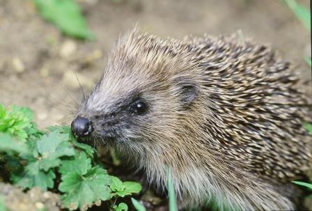 Native hedgehog (Stephen Oliver for Hedgehog Street)