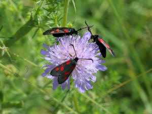 New Forest Burnet Moth  (Credit: David Green, Butterfly Conservation)