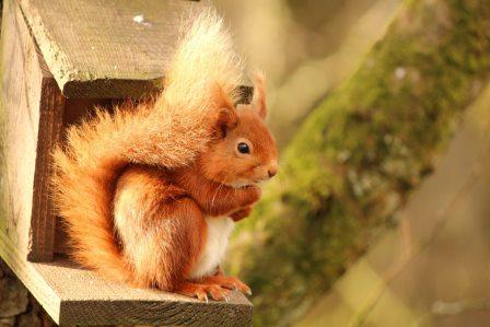 Red Squirrel © Michelle Branson