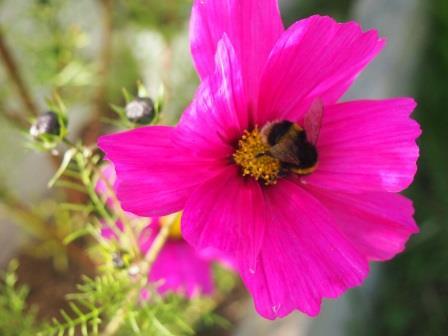Bee on an allotment (Social Farms & Gardens)
