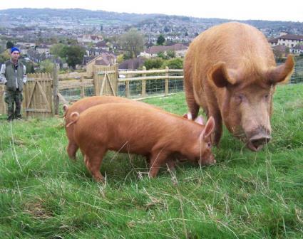 Pigs on a community farm (Social Farms & Gardens)