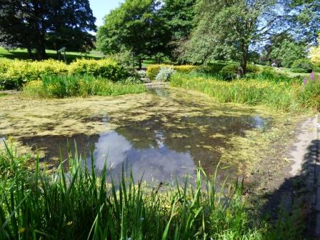 Newlands Park Pond in Glasgow showing evidence of algal scum, but the shelves of tall and short emergent aquatic plants creates habitat diversity for invertebrates and amphibians (University of Stirling)