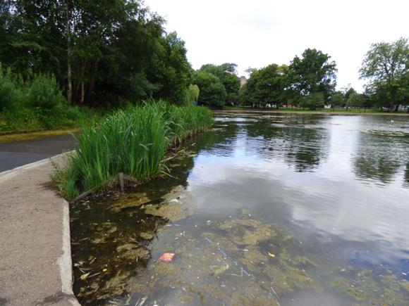Queen's Park Pond, Glasgow with recently planted aquatic plants (macrophytes) that are protected from waterfowl overgrazing by a mesh fence. Algal blooms are common in many urban ponds in part due to high nutrient inputs (e.g. road salts, fertilisers, waterfowl faeces) and limited exit opportunities as there is no outflow (University of Stirling)