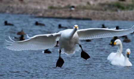 Bewick's swan (WWT)