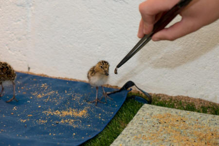 Spoon-billed sandpiper being headstarted (Paul Marshall/WWT)