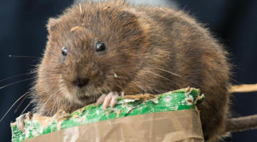 Water vole about to be placed in release pen (image: South Downs National Park)