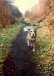 Image: Sian, our Irish wolfhound, on the Cinder Track in 1982, ©CJS