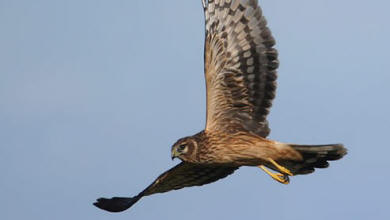 Female hen harrier in flight (image: Steve Round, RSPB)