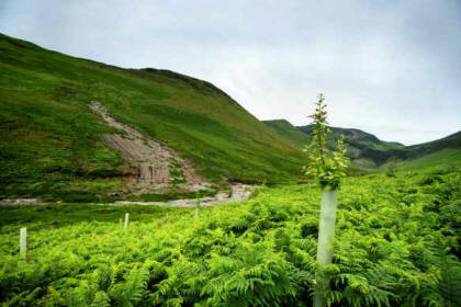 Saplings planted in the shadow of flood damage in the Coledale valley, near Keswick. Credit: John Malley / National Trust