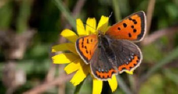 Small Copper Butterfly (image: Peter Eeles, Butterfly Conservation)