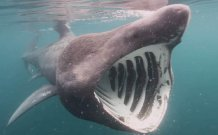 The primary drivers behind basking shark migrations are still unclear. Image courtesy of Philip Doherty.