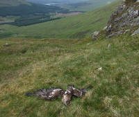 Dead Golden Eagle near Bridge of Orchy. Photo courtesy of RSPB