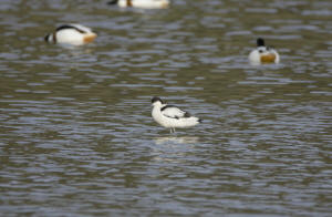 Avocet on Wader Lake (image: David Dinsley)