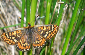 Marsh fritillary butterfly (image: Natural England)