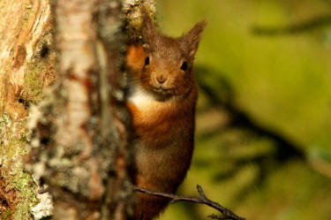 Red squirrel (image: Stephen Willis via SWT)
