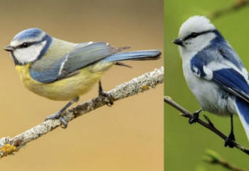 New insights into ecology and evolution are coming from global datasets focused on avian 'sister species', including the familiar blue tit Parus [Cyanistes] caeruleus and its closest living relative the azure tit Parus [Cyanistes] cyanus. Photos: gardenbird.co.uk and Krzysztof Blachowiak (Internet Bird Collection).