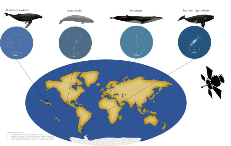 Infographic shows where different whale species congregate around the world. Credit: Hannah Cubaynes