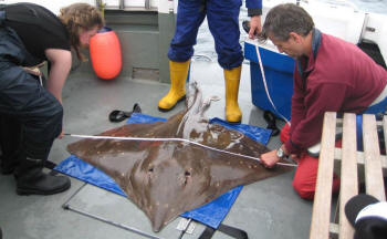 Skate can be identified by examining the distinctive spot patterns on their backs and studying their movements (Scottish Association for Marine Science)