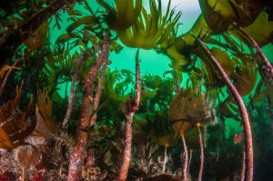 Kelp Forest © George Stoyle, SNH
