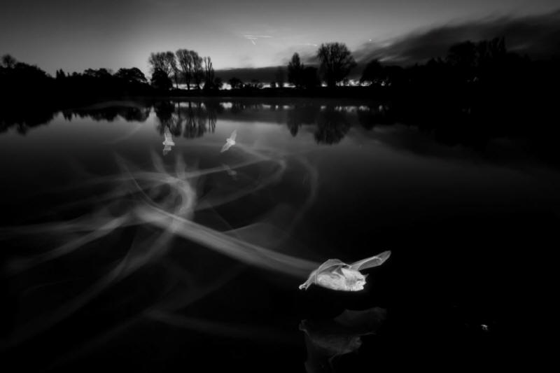 BWPA overall winner, bats flying over a pond