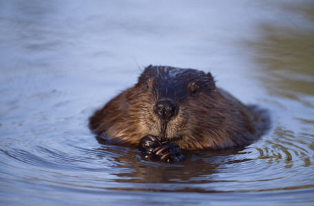 European beaver (image: Laurie Campbell via SNH)