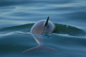 Harbour Porpoise St Lawrence Canada © Ores Ursula Tscherter