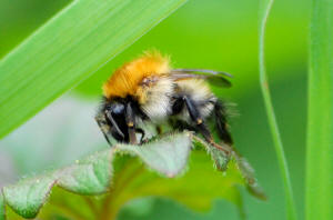 A Common Carder bee, Bombus pascuorum, carding hairs from a dead-nettle (University of Kent)