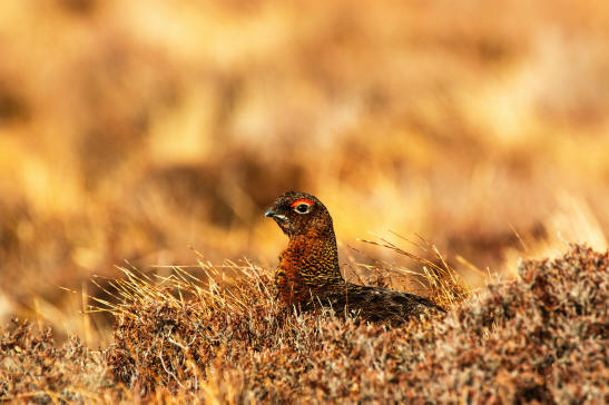 Red Grouse (image: Brian Taylor / unsplash)