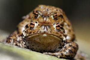 The Lanarkshire biodiversity projects share £237k Nature Fund cash: Toads © Lorne Gill SNH