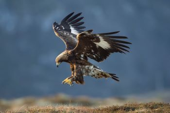 Golden eagle © Mark Hamblin / scotlandbigpicture.com