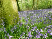 Bluebells are the most frequently-seen wildflower in the woodlands surveyed as part of the National Plant Monitoring Scheme Picture: Beth Newman/Plantlife